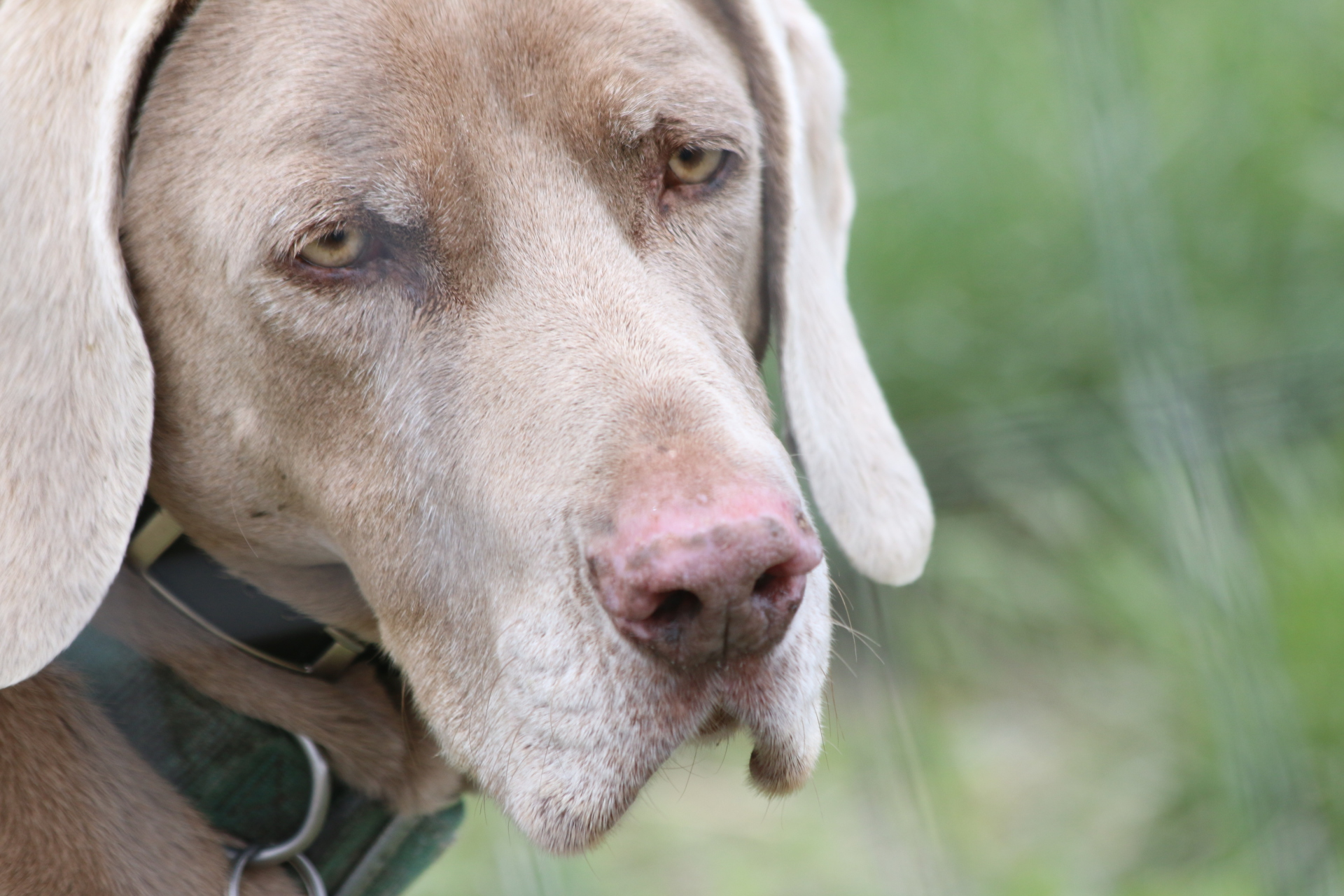 Dakota--13 Year Old Weimaraner--January 2002-September 2016