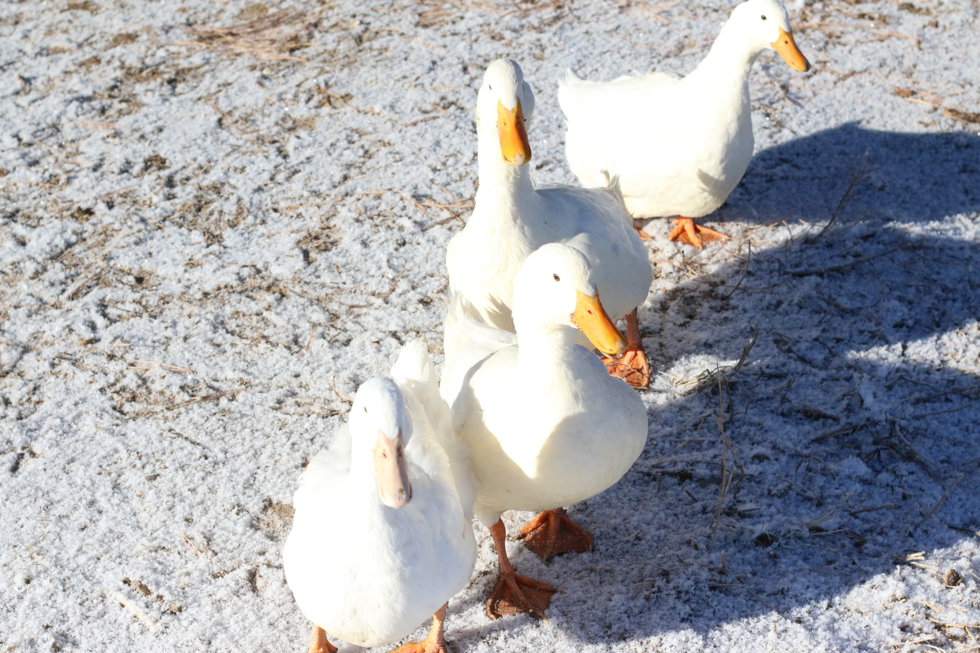 4 Farm Ducks--Pepper and Salt(Winter 2015) Huey and Duey(Spring 2015)
